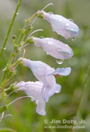 Blue Penstemon in the Rain, Rocky Mountain National PArk, Colorado. Photo copyright Jim Doty Jr.