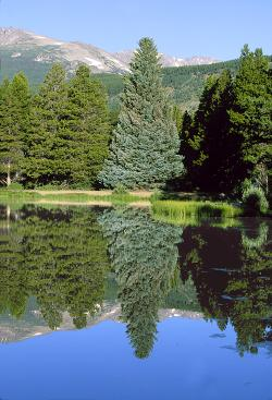 Blue Spruce Reflected in Sprague Lake
